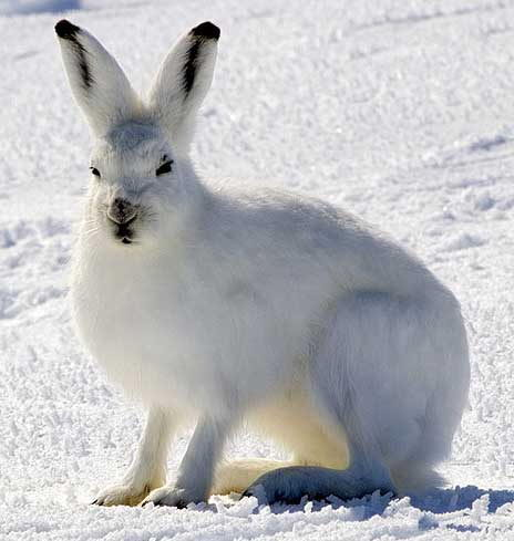 arctic hare facts