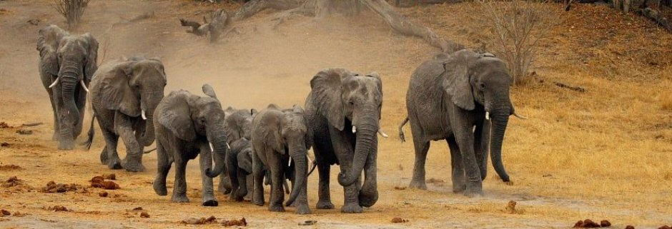 why are elephants endangered | a herd of elephants