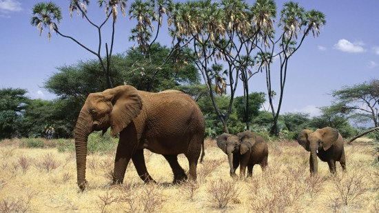 are elephants endangered4