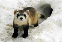 black footed ferret facts for kids