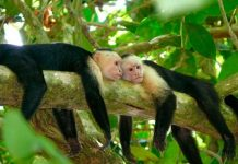 capuchin monkey facts