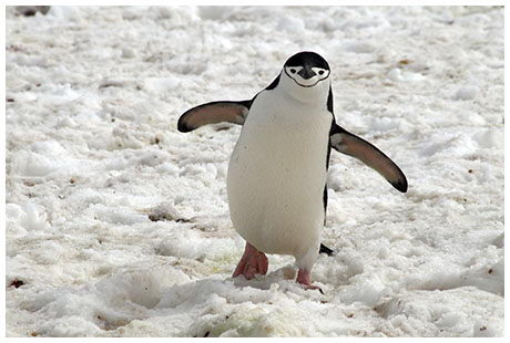 Chinstrap Penguin Facts   Follow Me for the Interesting ...