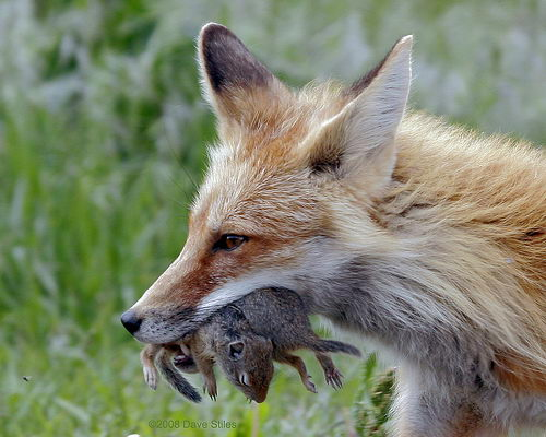 do foxes eat cats - two squirrels in fox motuh