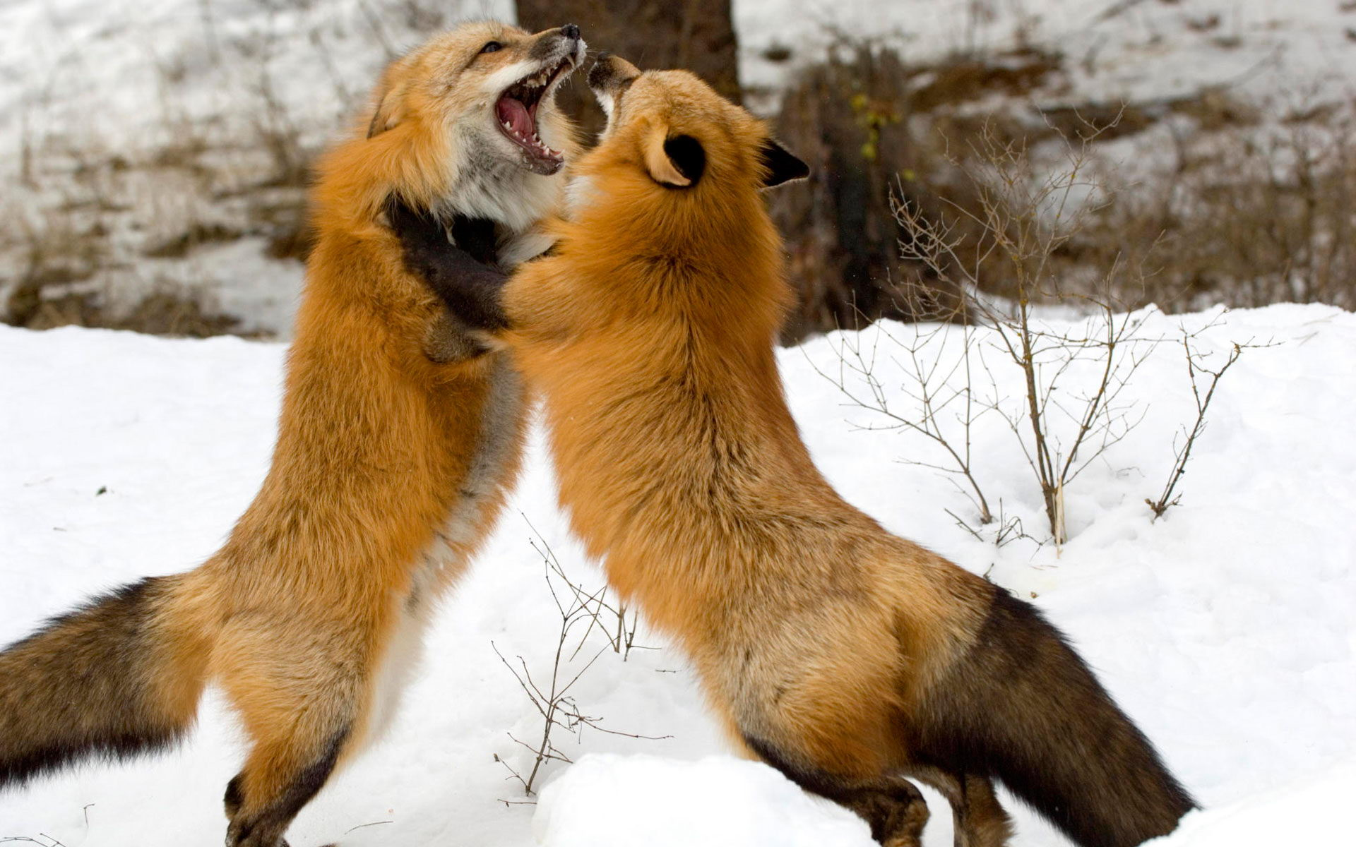 do foxes eat cats facts about fox u0027s diet