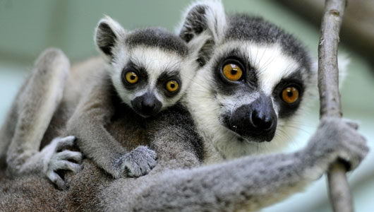 Lemur endangered animals in the rainforest