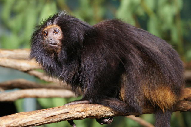 endangered animals in the rainforest Black-faced Lion Tamarin