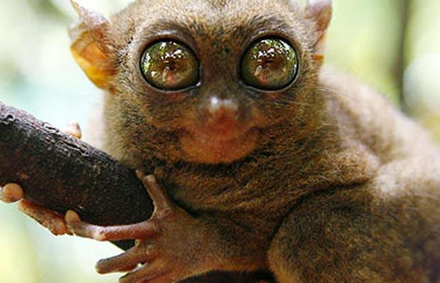 Tarsier endangered animals in the rainforest