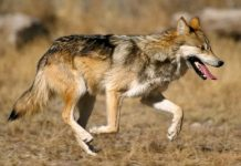 Endangered Species For Kids - Mexican Wolf(Canis lupus baileyi)