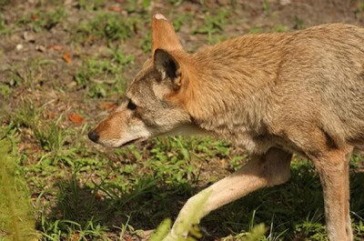Endangered Species For Kids Red Wolf (Canis lupus rufus)