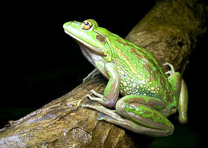 interesting frog facts for kids | frogs