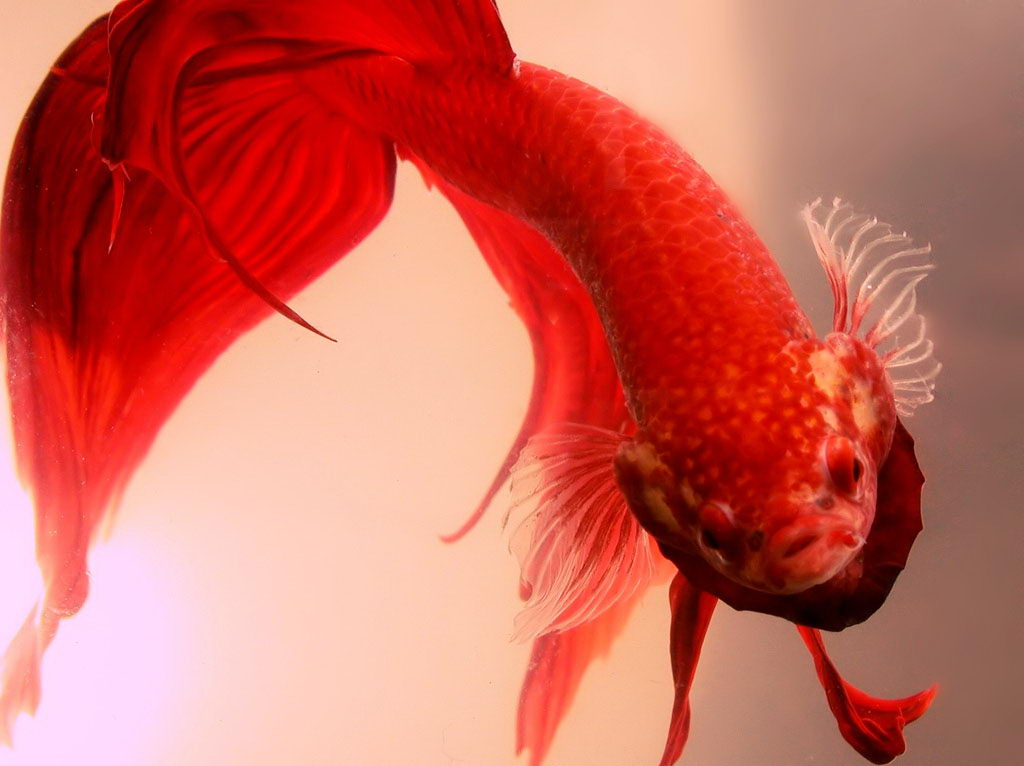 How long do betta fish live in captivity for Big betta fish