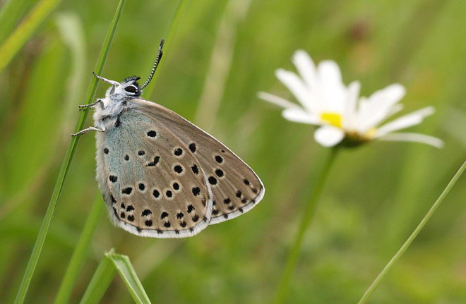 how long do butterflies live in captivity and in the wild