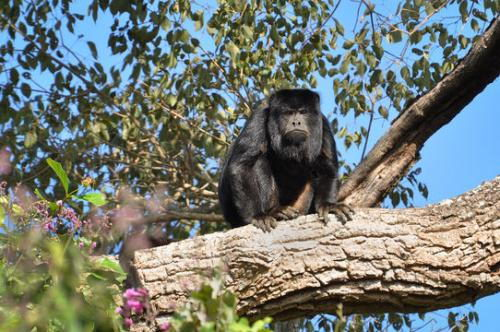 interesting howler monkey facts