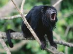howler monkey facts