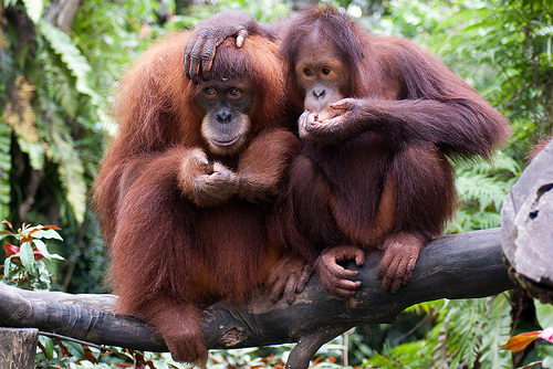 interetsing orangutan facts for kids | orangutan