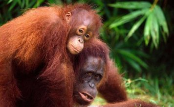orangutan facts for kids -orangutan with its baby on top