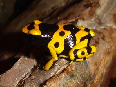interesting dart poison frog facts for kids