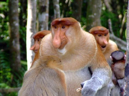 interesting Proboscis Monkey Facts