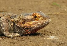 what do bearded dragons eat in the wild