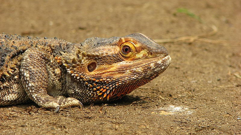 a bearded dragon - what do bearded dragons eat in the wild