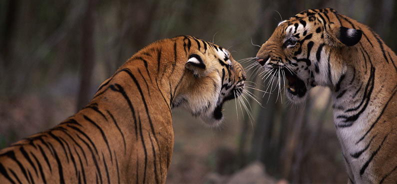 what do bengal tigers eat in the rainforest | bengal tigers diet