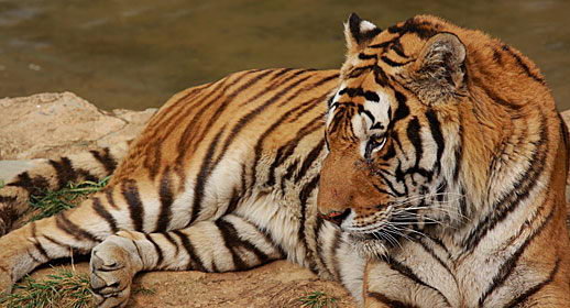 what do bengal tigers eat