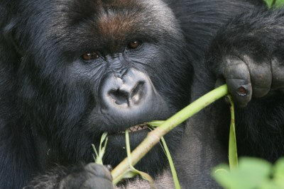 Gorilla Eating Stems - what do gorillas eat