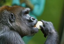 what do gorillas eat in the wild