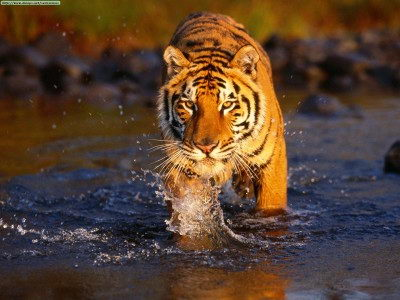 where do bengal tigers live | bengal tiger