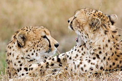 where do cheetahs live