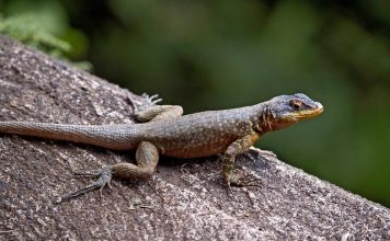 Lizard (Lacertilia)