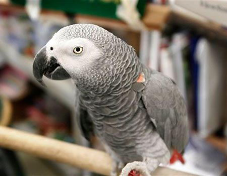 african grey parrot facts