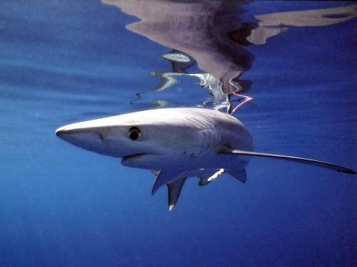 blue shark facts