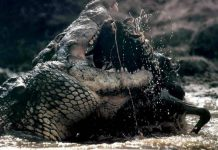 how long do alligators live | alligators lifespan