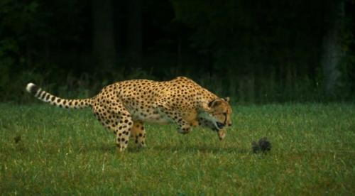 information about cheetahs | cheetah