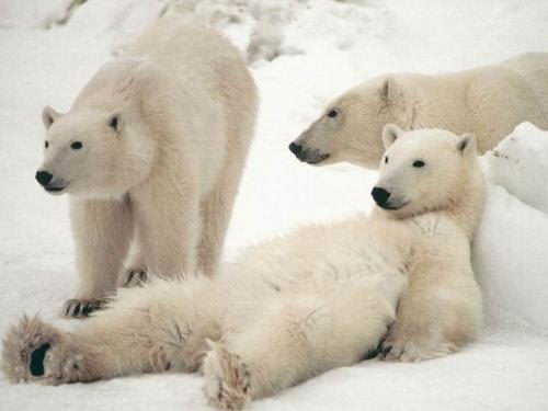 Information About Polar Bears For Kids
