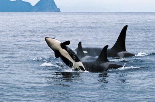 killer whale facts | killer whales