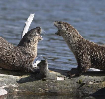 river otter facts | river otter facts for kids