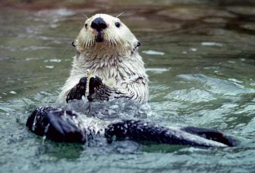 sea otter facts | sea otter diet
