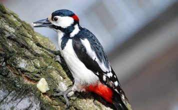 what do woodpeckers eat | woodpeckers diet