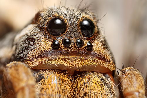 Wolf spider pictures and facts