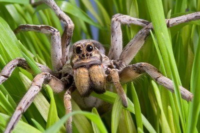 wolf spider facts | wolf spider