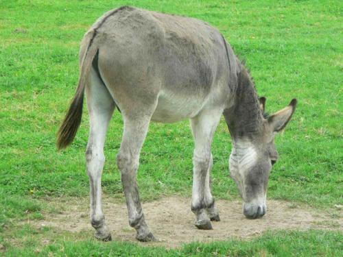 Donkey - Alternative to Guard dog
