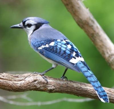 blue jay facts for kids | blue jay