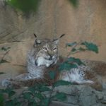 Lynx Facts for Kids – Appearnce, Diet, Hunting, Reproduction & breeding