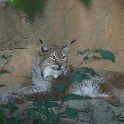 Lynx in zoo - lynx facts for kids