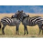 zebra facts for kids1 150x150 Where Do Zebras Live | Zebras Habitat