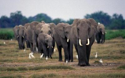 what do elephants eat | elephants diet