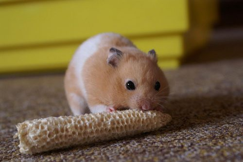 Hamster Facts For Kids - Hamster Eating Cob