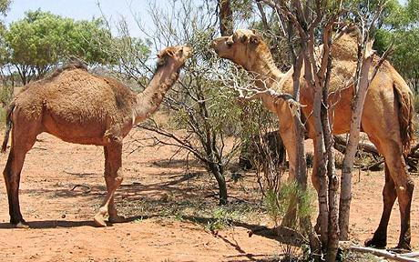 what do camels eat | camels diet